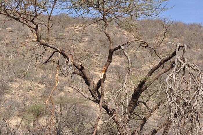 dead-leopard-in-tree