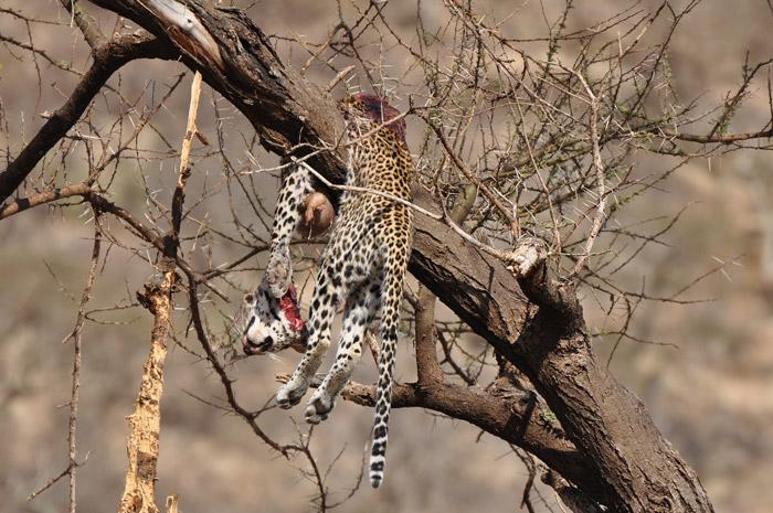 dead-leopard-tree
