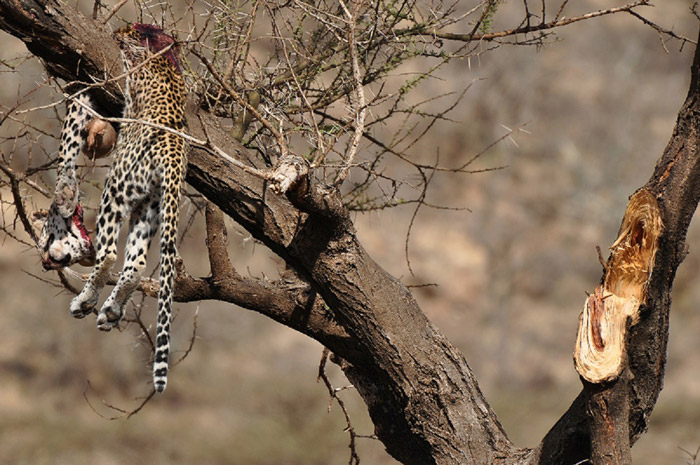 dead-leopard