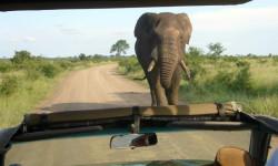 elephant-bull