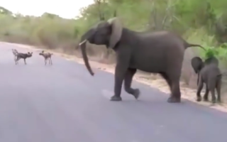 elephant-chases-wild-dogs