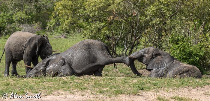 elephant-kicking