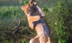 falling lion