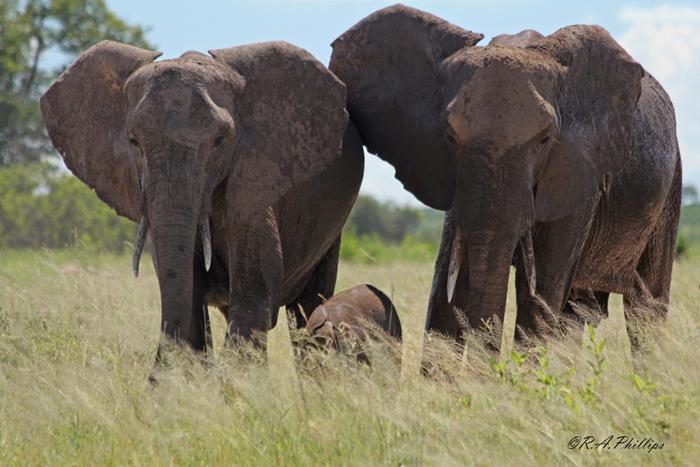 family-of-elephants