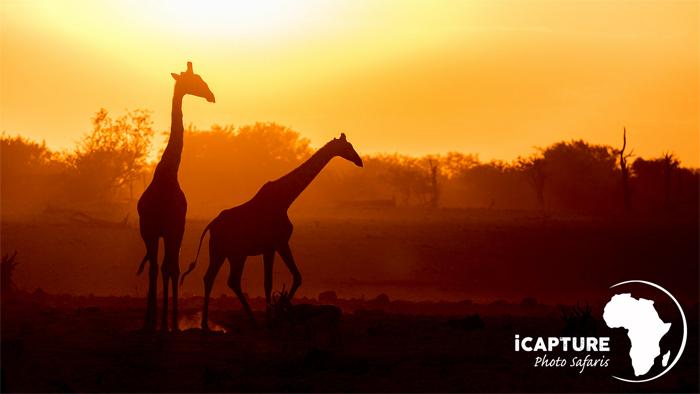 giraffes-in-the-sunset