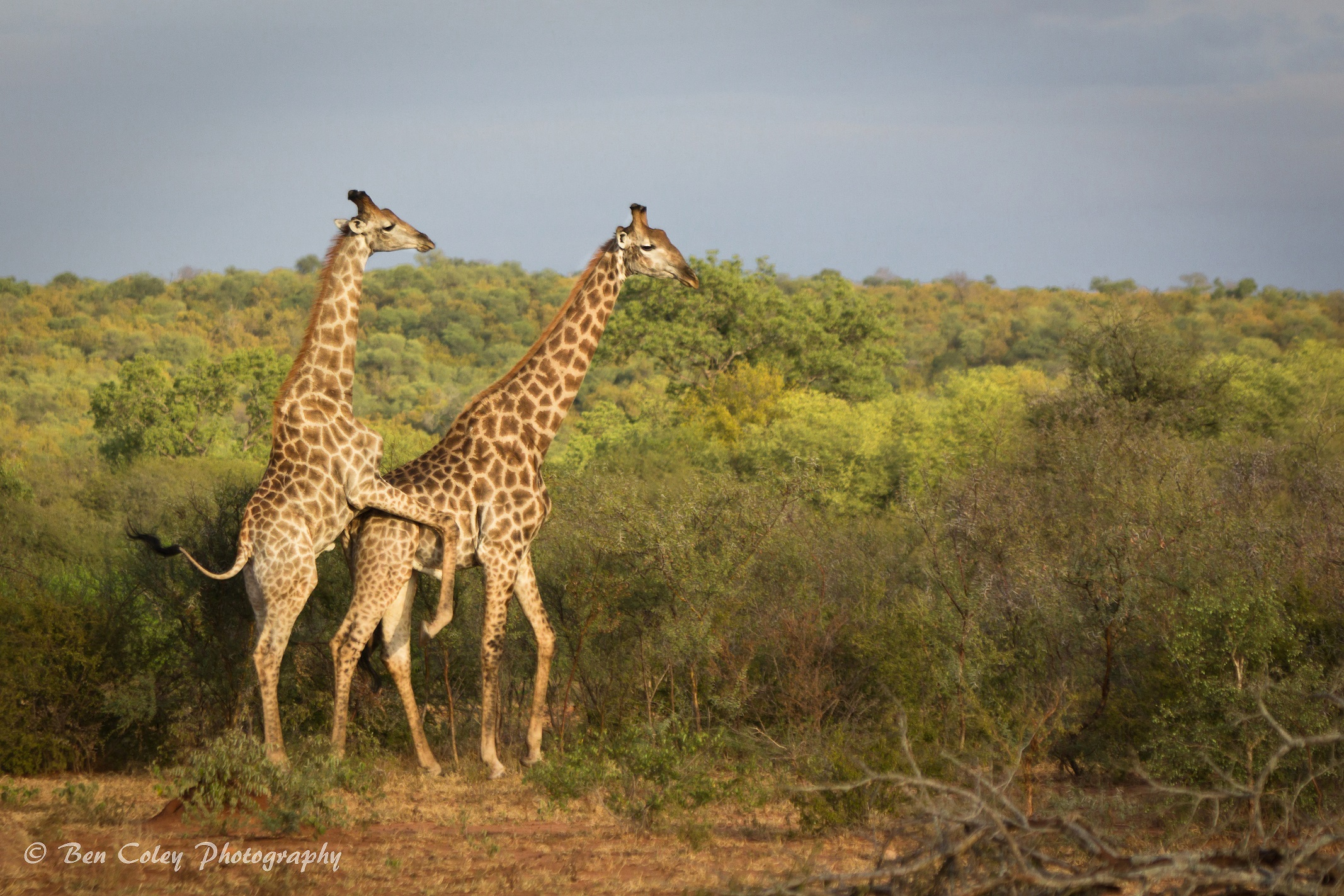 a pain in the neck for giraffes africa geographic