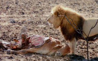 A victim of hungry lions. And post-apartheid cultural tensions. ©Niki Rust