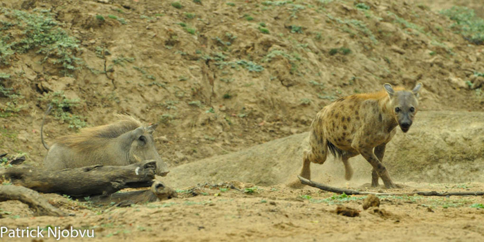 hyena-runs-from-warthog