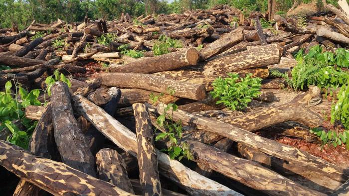 illegal-logging-DRC