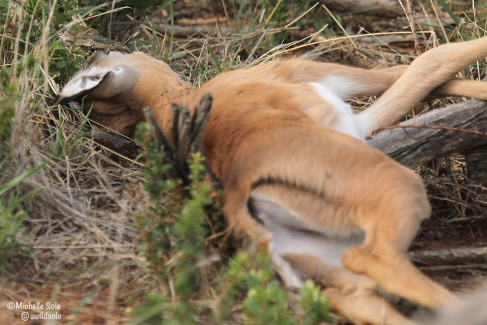 impala-lamb-rock-python