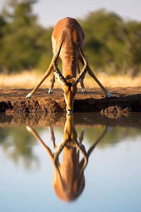 A male impala takes a morning drink at the Matabole waterhole at Mashatu Game Reserve, Botswana in golden light. Entry by Chris Grech.