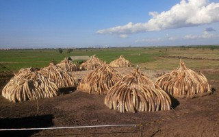 Stacks of 105 tonnes of ivory in Nairobi National Park, Kenya. On 30 April Kenyan President Uhuru Kenyatta will set fire to the ivory in a public ceremony in order to put it out of economic use. ©Kenya Wildlife Service