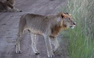 lemek-lion