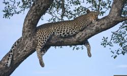 leopard-in-marula-tree-2
