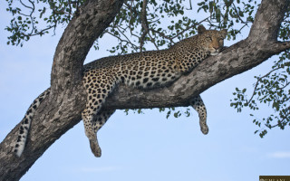 leopard-in-marula-tree-2