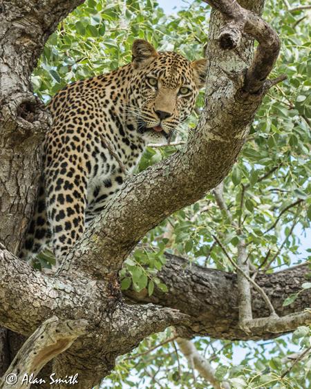leopard-stare