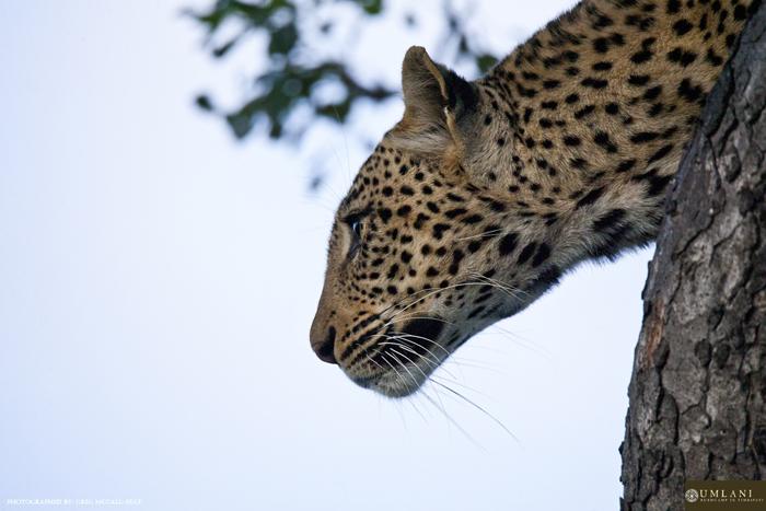 leopard-surveying