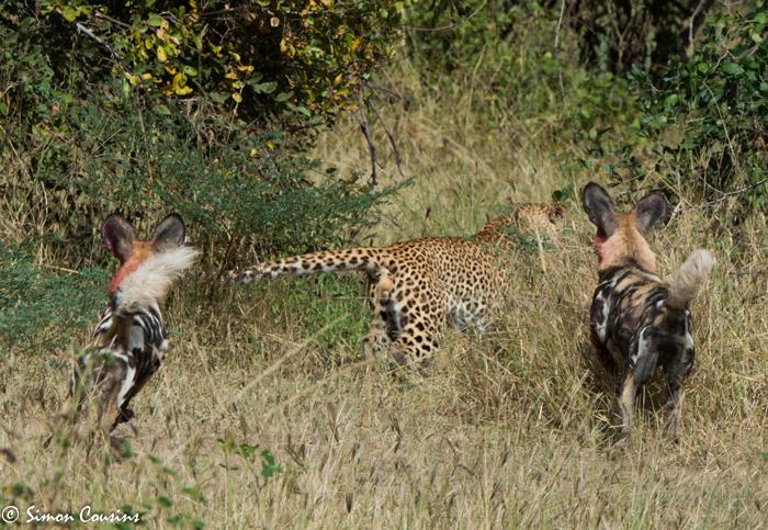 leopard-vs-wild-dog-luangwa