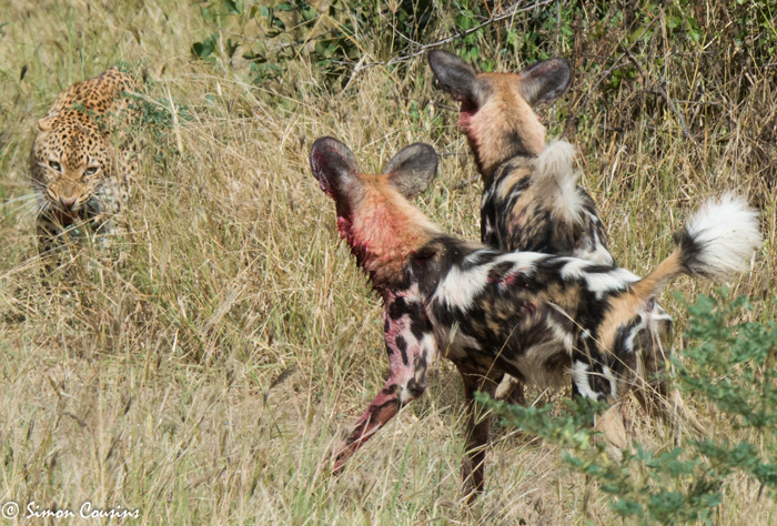 leopard-vs-wild-dogs-luangwa