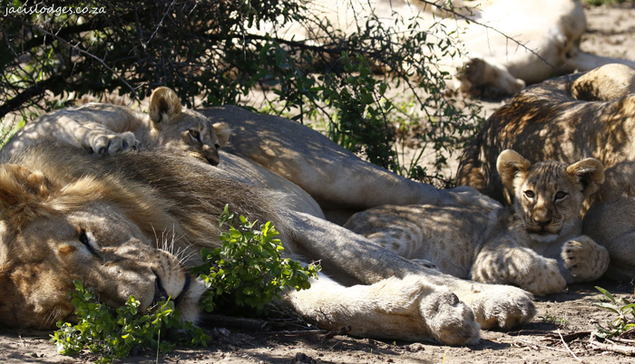 lion-cubs-with-father