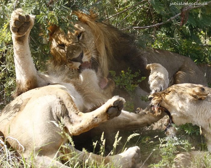 lion-family-quarrel