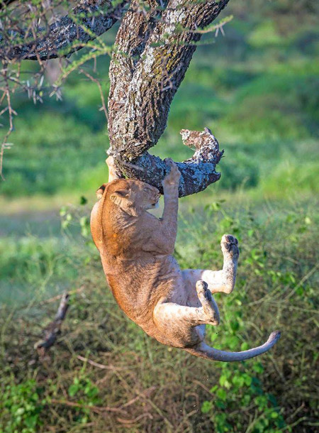 lion holding on