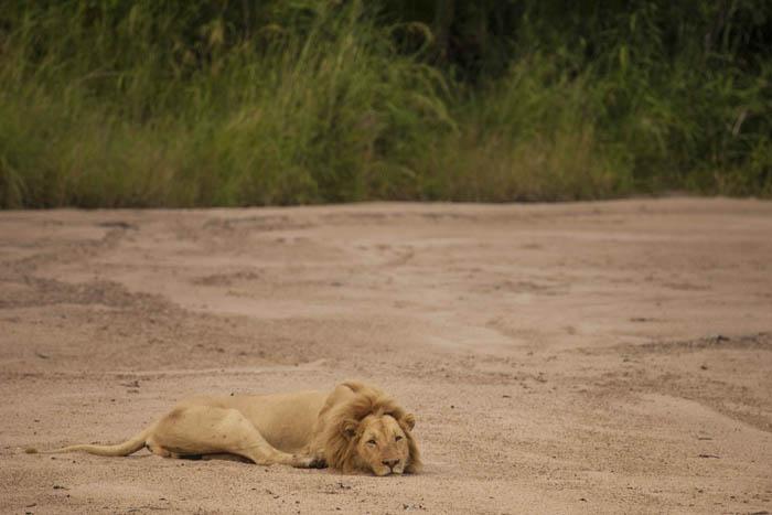 lion-in-luangwa