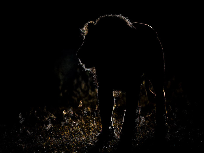 Photo competition entrant Clint Ralph captured this stunning silhouette of a king at Moremi, Botswana