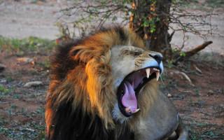 lion-yawning