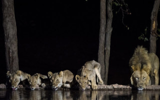 Master exposure and make your subjects stand out from the background, like these lions drinking at night in Ongava Game Reserve, Namibia. Image by Andrea Galli.
