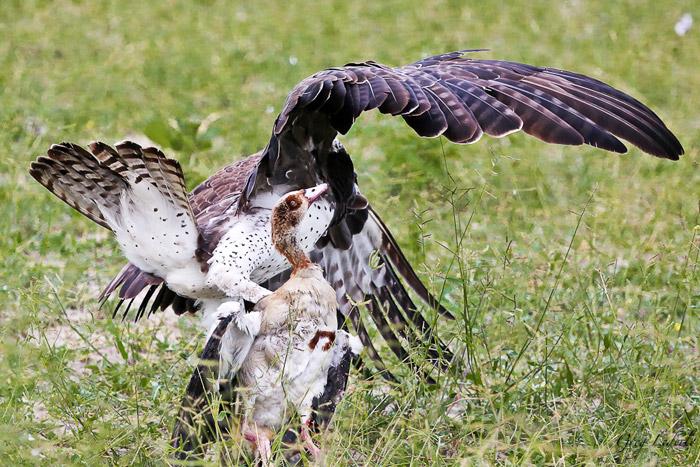 martial-eagle-egyptian-goose-botswana