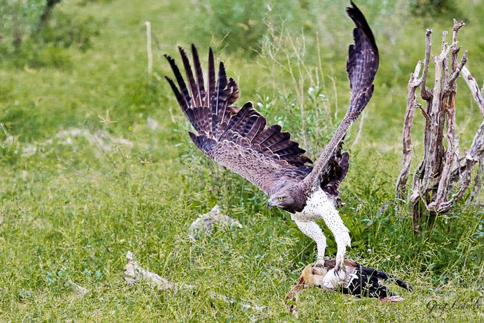 martial-eagle-egyptian-goose-linyati