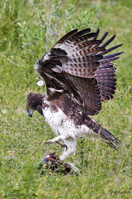 martial-eagle-egyptian-goose