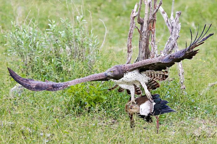 martial-eagle-flying-goose