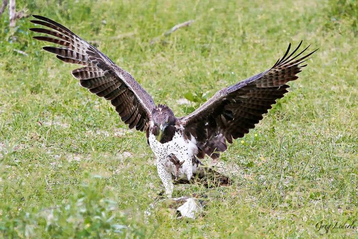 martial-eagle-goose