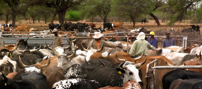 A typical Namibian cattle farm ©Niki Rust,
