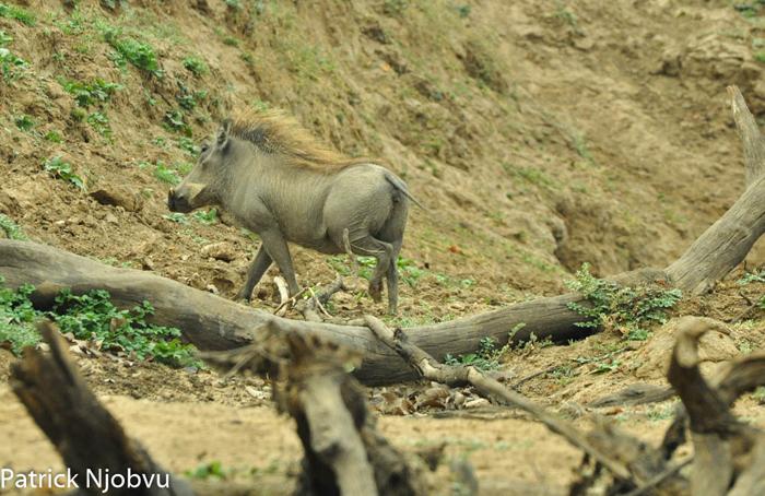 proud-warthog
