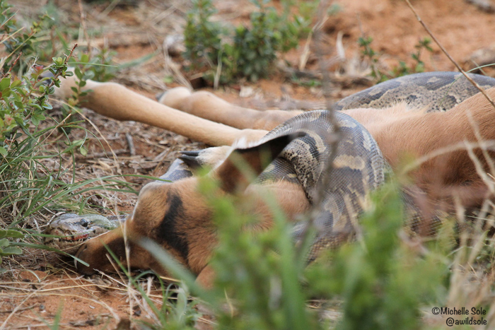 Video: African rock python gets to grips with an impala