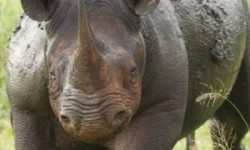 A rhino that has since been killed by poachers at Zululand Rhino Reserve in KwaZulu-Natal