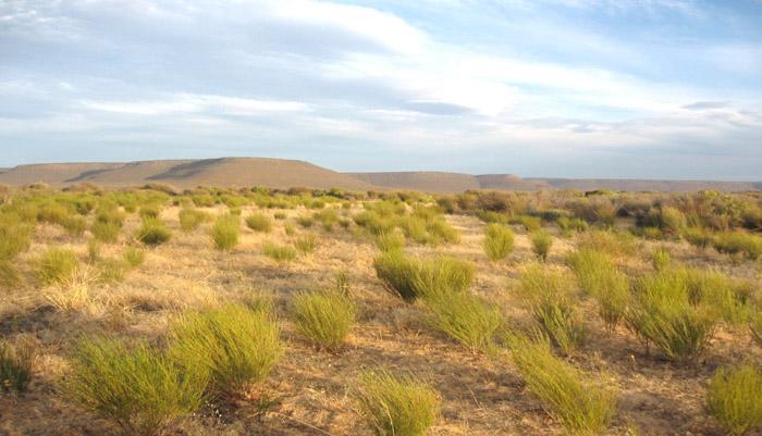rooibos in field