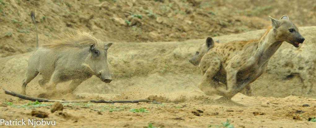 runnning-warthog
