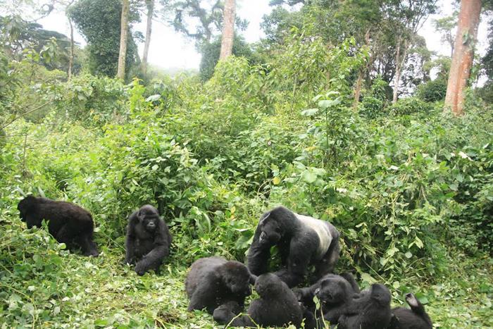 silverback-gorilla-and-family