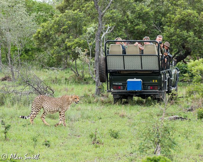 spotting-cheetah-on-safari
