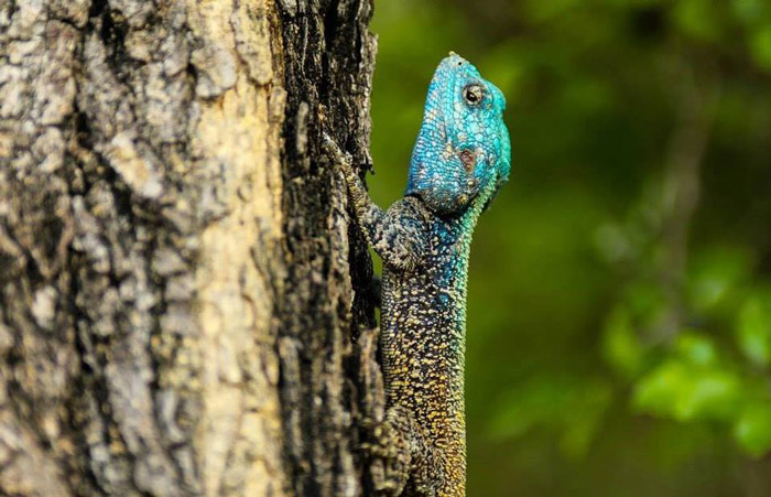 Agama magic as this beauty pops out from a blurred background. Image by Ricci Goldstein.