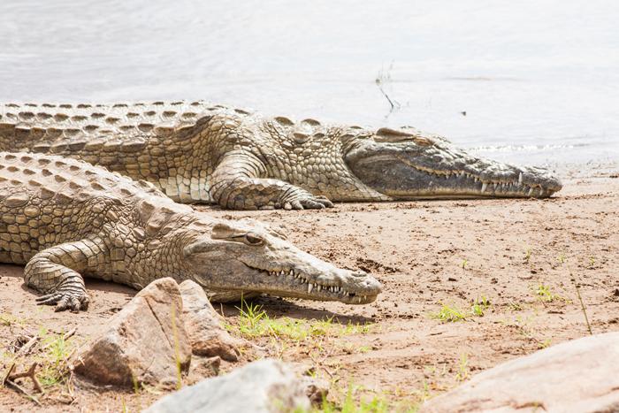 Kenya, Tsavo East National Park. Crocodiles joining the last sun before the sunset