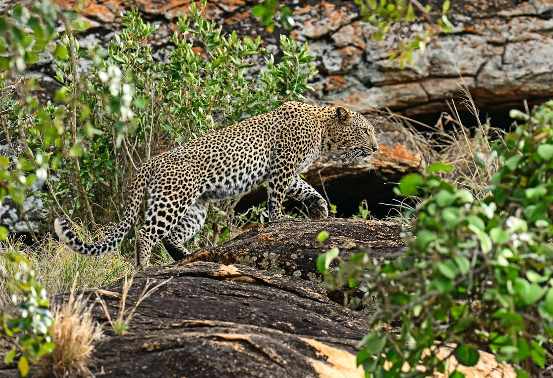 Leopard on a rock in the Tsavo National Park in Kenya