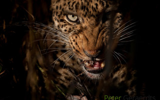 up-close-leopard