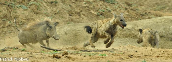warthog-chases-hyena