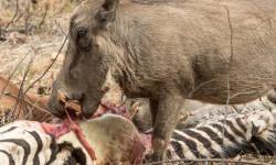 warthog-feeds-on-zebra-carcass