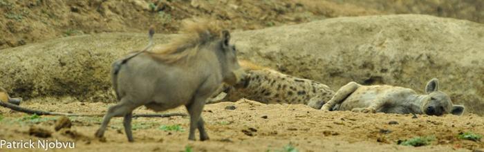 warthog-watches-lazy-hyenas